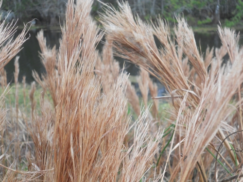 Grasses by the Pond